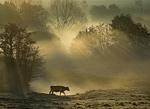 Vache dans la vallée de la Seulles